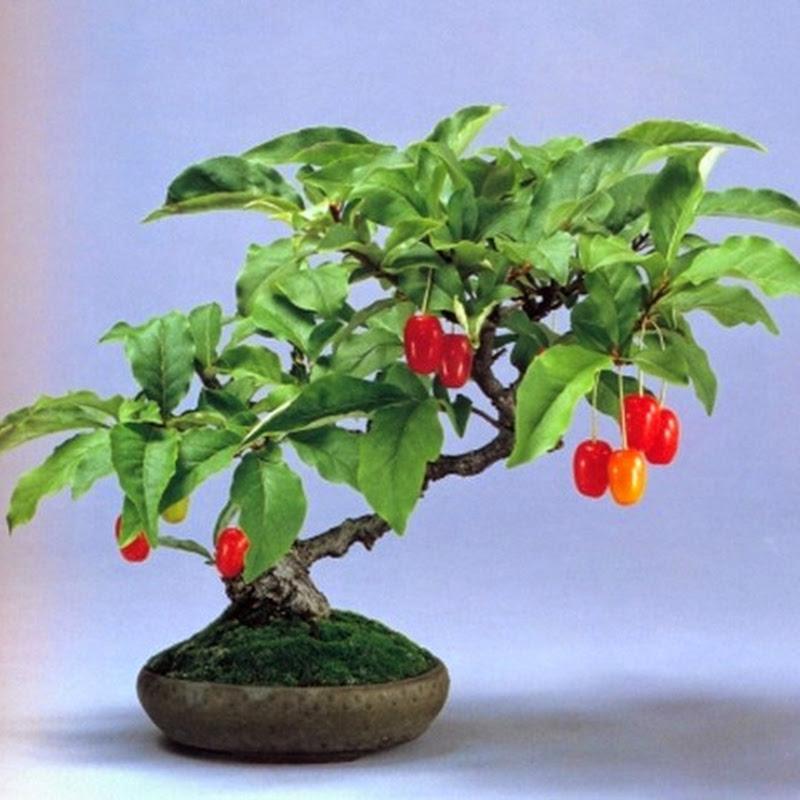 L'Eleagnus si trova in particolare in Asia, dove cresce in boschetti e zone asciutte.