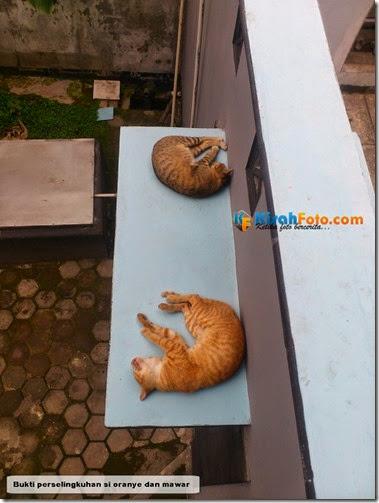 Kucing Pacaran Selingkuh_01