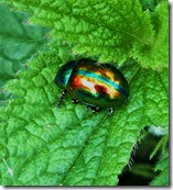 Dead nettle leaf beetle Chrysolina fastuosa (2)