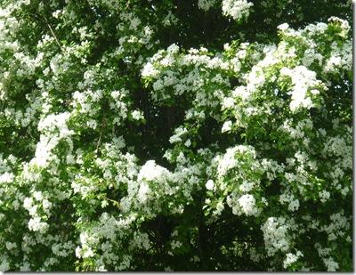 hawthorn blossom n oxford