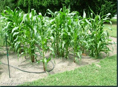 corn0623