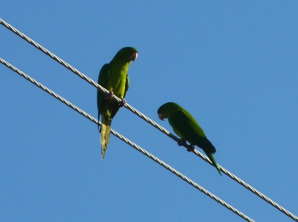 Green Parakeets Mission, Texas 11