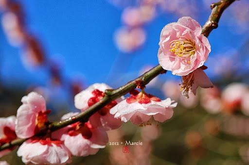 台中 武陵農場 粉紅佳人 櫻 春