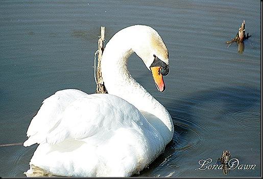 LL_Swan2_2012