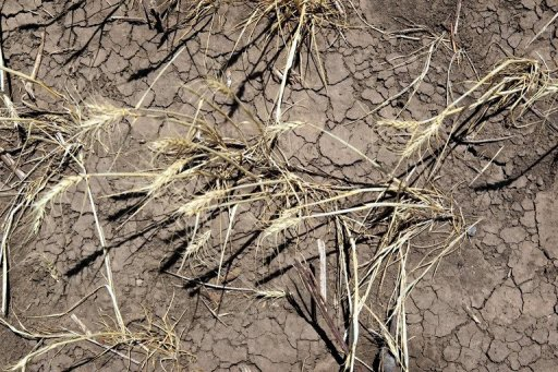 Drought-stricken wheat crops bake in the sun in 2011 near Hermleigh, Texas. More intense heat waves due to global warming could diminish wheat crop yields around the world through premature ageing, according to a study published in Nature Climate Change. physorg.com
