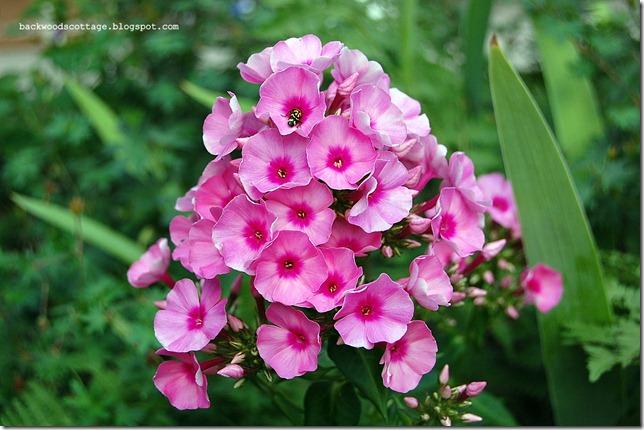 pinkphlox