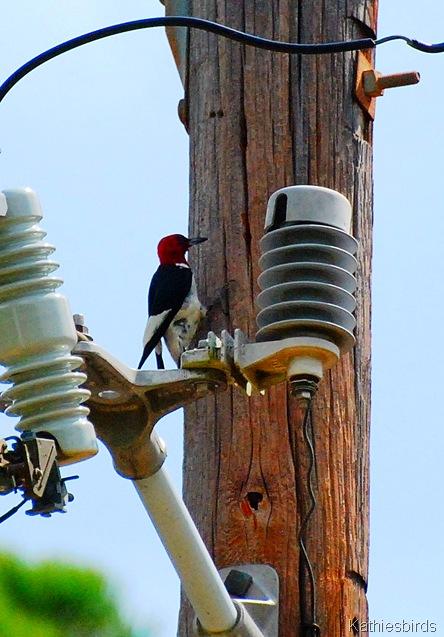 12. redheaded woodpecker  Omaha, TX-kab