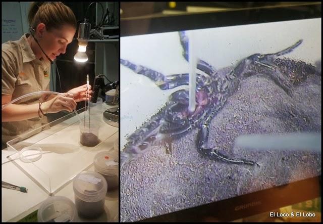 Collecting funnel-web spider venom