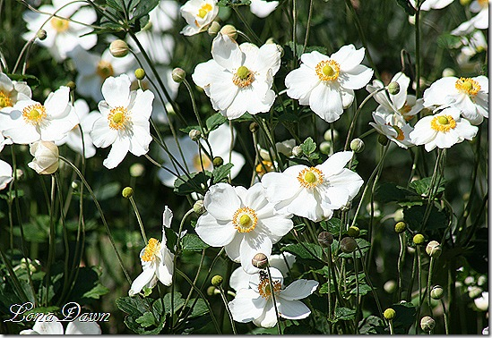 FPC_Anemones_Japanaese_White2