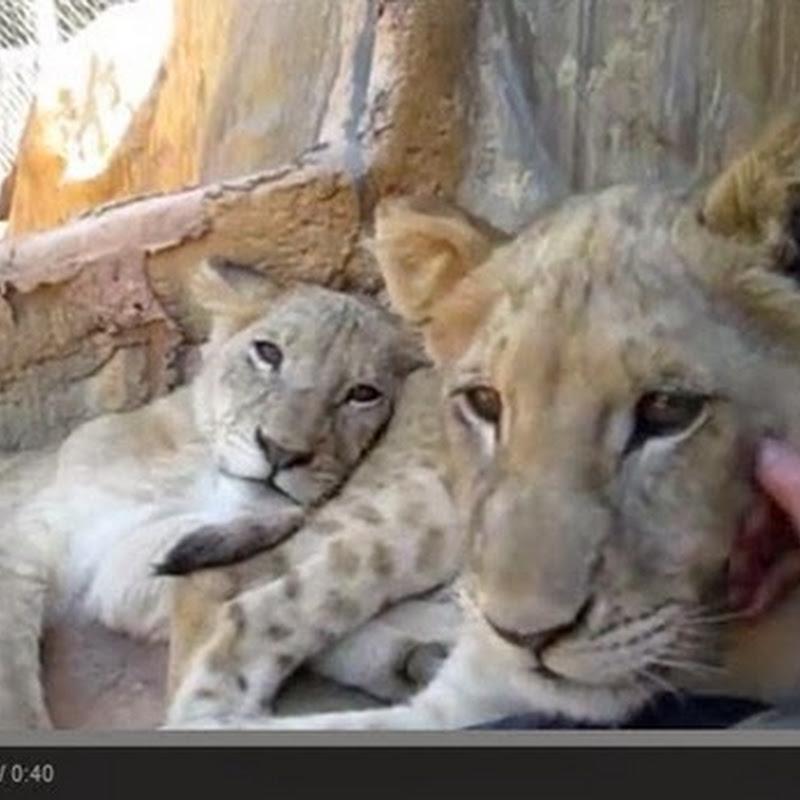 Αξιολάτρευτα λιονταράκια