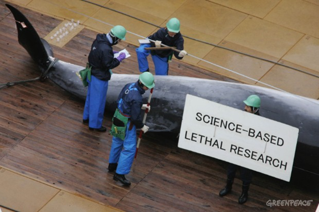 Aerial view of the transfer and flensing of whales on the deck of the Nisshin Maru factory ship, 5 January 2006. The Nisshin Maru is part of Japan's whaling fleet in the Southern Ocean Whale Sanctuary. A sign held up by the crew for the sake of the Greenpeace cameramen in the helicopter above reads 'Science-based lethal research'. Photo: Jeremy Sutton-Hibbert / Greenpeace