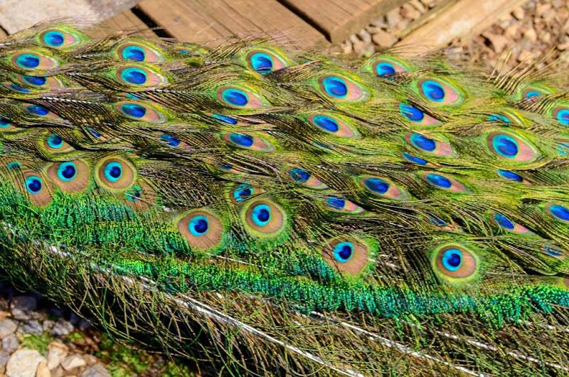 peacock-19482