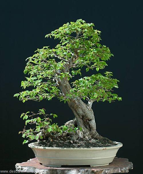 bonsais arvores em miniatura desbaratinando (23)