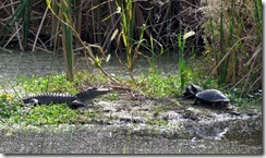 Young gator and old turtles