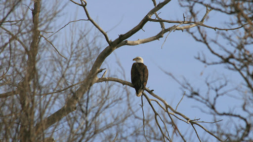 Bald Eagle; eagle; South Platte; South Platte River; Thornton; Colorado ...