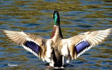 Amazing Pictures of Animals, photo, Nature, exotic, funny, incredibel, Zoo,  Mallard, Wild Duck (Anas platyrhynchos), Alex (3)