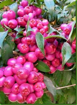 Eugenia myrtifolia2