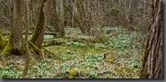 zauberhaft Märchenwald, Märzenbecherwald