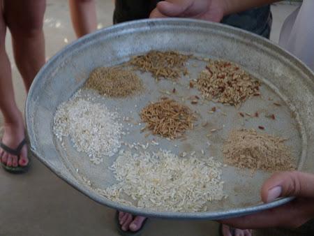 Imagini Delta Mekongului: tipuri de orez
