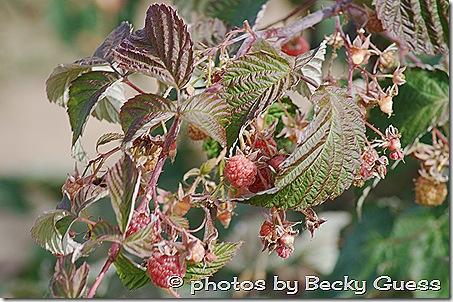 10-05-11 raspberry farm near Mora NM 03