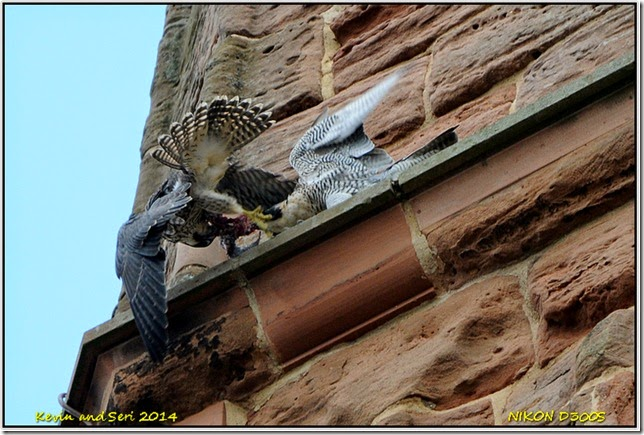 Coventry Peregrine Falcons
