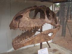 2008.09.10-002 crâne de giganotosaurus