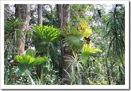 Stag Ferns