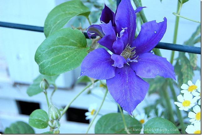 blueclematis