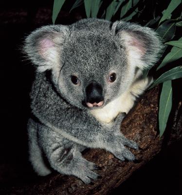 gtotem_koala