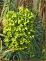 IMG_0077 Euphorbia