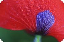 मोर का अहसास करवाता फ़ूल