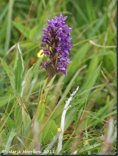 39-Northern Marsh-orchid Dactylorhiza purpurella