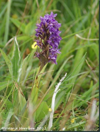 39-Northern Marsh-orchid Dactylorhiza purpurella