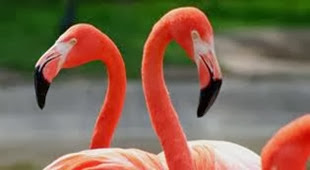 Amazing Pictures of Animals, Photo, Nature, Incredibel, Funny, Zoo, Flamingos or Flamingoes, Phoenicopteridae,  Aves, Bird, Alex (1)