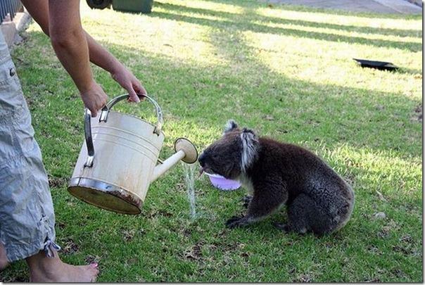 Adoraveis Koalas (4)