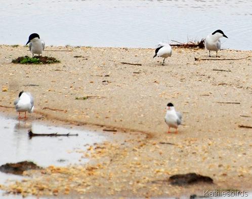 18. gull-billed terns-kab