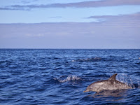 Luca_vanDuren_Spotted dolphins keeping up with the boat.JPG