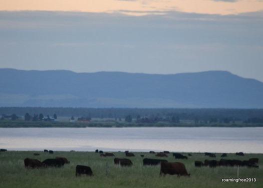Cattle at Sunrise