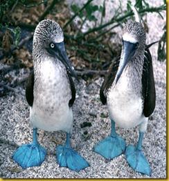 Foto Galapagos Sulla dai Piedi Azzurri