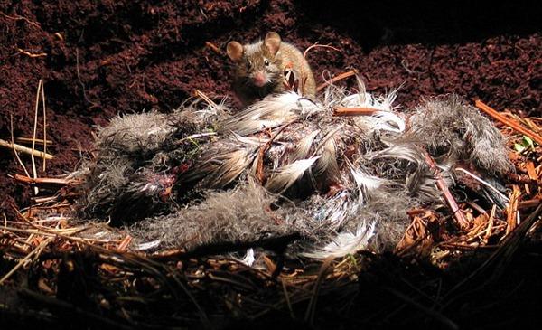 Mice – Gough Island
