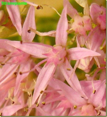 sedum spectabile fiore rosa