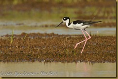 Black-necked Stilt  _ROT4161   NIKON D3S June 04, 2011