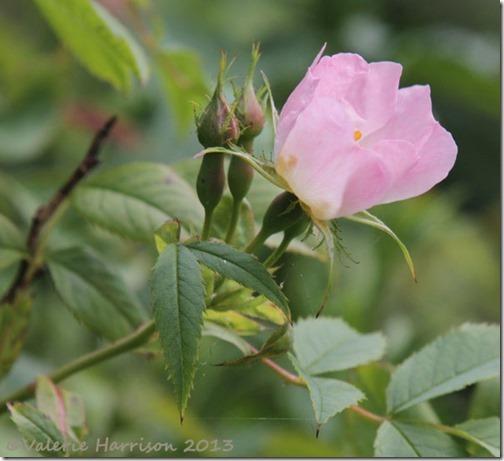45-dog-rose