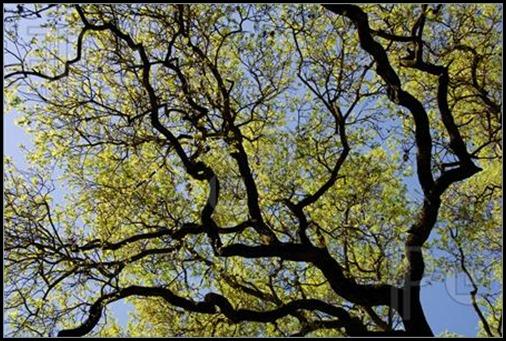 Spring-Oak-Branches-487615