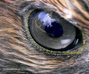 Hawk_eye