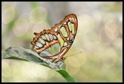 Butterfly Bokeh5004-1