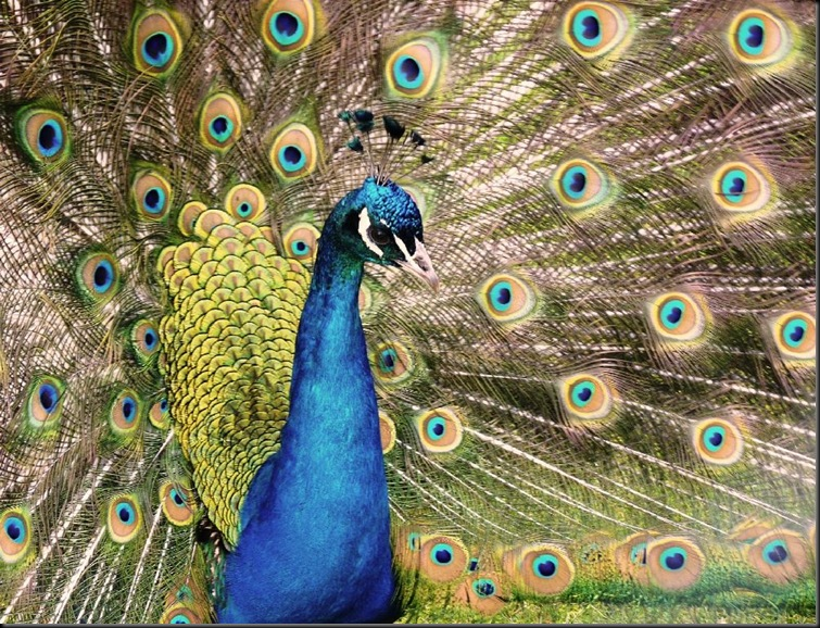 2nd - Shinde S - Peacock (resized) 2011