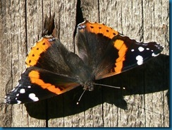 red_admiral_butterfly_1sh25_0712_640x480