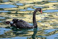A black swan!