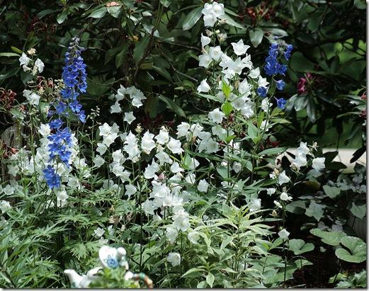 Delphinium_BlueBrid_Bellflowers
